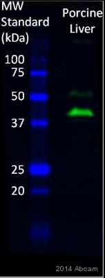 Western blot - Anti-G-6-Pase antibody (ab83690)