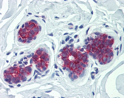 Immunohistochemistry (Formalin/PFA-fixed paraffin-embedded sections) - Anti-G-6-Pase antibody (ab83690)