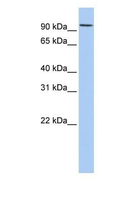 Western blot - Anti-DORFIN antibody (ab83775)