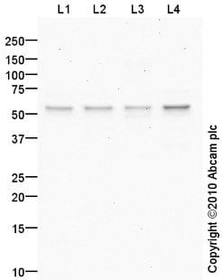 Western blot - Anti-PLGF antibody (ab83906)