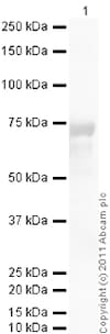 Western blot - Recombinant human CD40 protein (Fc Chimera Active) (ab83917)