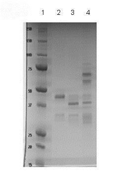 SDS-PAGE - Recombinant Human Activin Receptor Type IA protein (Fc Chimera) (ab83922)