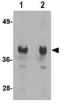 Western blot - Anti-GAPDH antibody - Loading Control (ab83957)