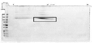SDS-PAGE - Recombinant human Flt3 / CD135 protein (Fc Chimera Active) (ab83998)