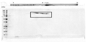 SDS-PAGE - Recombinant Human FGFR1 alpha protein (Fc Chimera) (ab84000)