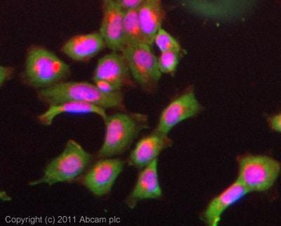 Immunocytochemistry/ Immunofluorescence - Anti-PCSK9 antibody [mAbcam84041] (ab84041)