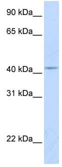 Western blot - Anti-COX10 antibody (ab84053)