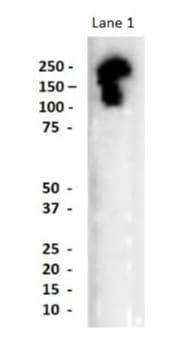 Western blot - Anti-neurobeachin-like 1 antibody (ab84118)