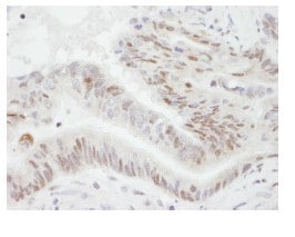 Immunohistochemistry (Formalin/PFA-fixed paraffin-embedded sections) - Anti-PGC1 alpha antibody (ab84139)