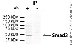 Immunoprecipitation - Anti-Smad3 antibody (ab84177)
