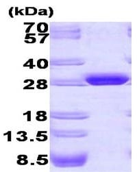 SDS-PAGE - Recombinant <em>A. victoria</em> GFP protein (ab84191)