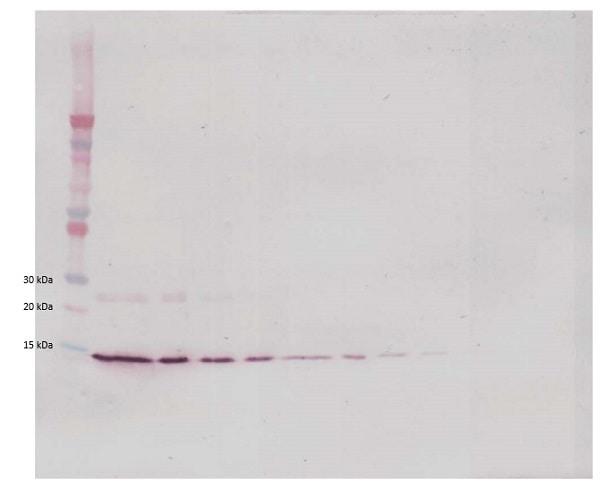 Western blot - Biotin Anti-IL-4 antibody (ab84278)