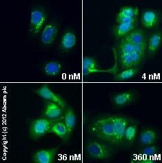 Immunocytochemistry/ Immunofluorescence - Anti-Golgin 97 antibody (ab84340)