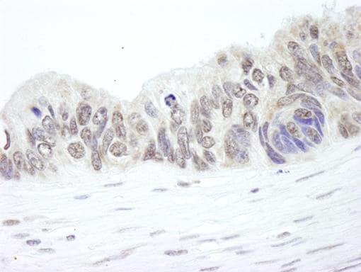 Immunohistochemistry (Formalin/PFA-fixed paraffin-embedded sections) - Anti-Ribosomal protein L26 antibody (ab84359)