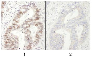 Immunohistochemistry (Formalin/PFA-fixed paraffin-embedded sections) - Anti-MCM2 (phospho S40 + S41) antibody (ab84391)