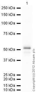 Western blot - Recombinant Human SSB protein (ab84477)