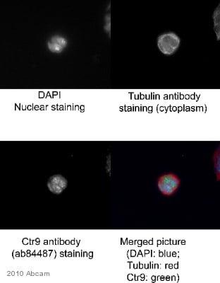 Immunocytochemistry/ Immunofluorescence - Anti-CTR9 antibody (ab84487)