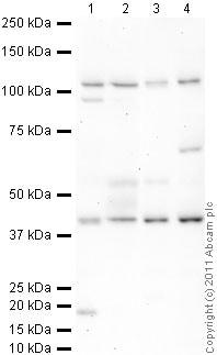 Western blot - Anti-GATA4 antibody (ab84593)