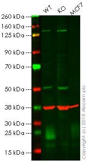 Western blot - Anti-MUC1 antibody (ab84597)