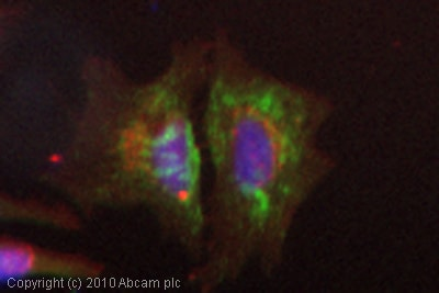 Immunocytochemistry/ Immunofluorescence - Anti-Cytochrome P450 2E1 antibody (ab84598)