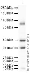 Western blot - Anti-BMP7 antibody (ab84684)