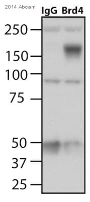 Immunoprecipitation - Anti-Brd4 antibody (ab84776)