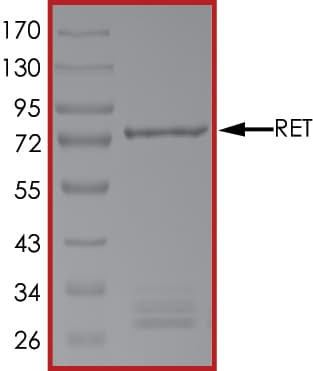 SDS-PAGE - Recombinant human Ret protein (ab84791)