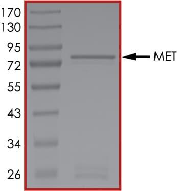 SDS-PAGE - Recombinant human Met (c-Met) protein (ab84806)