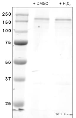 Western blot - Anti-Nup153 antibody (ab84872)
