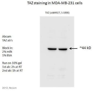 Western blot - Anti-TAZ antibody (ab84927)