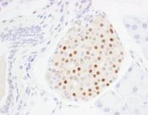 Immunohistochemistry (Formalin/PFA-fixed paraffin-embedded sections) - Anti-MAFA antibody (ab85008)