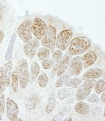 Immunohistochemistry (Formalin/PFA-fixed paraffin-embedded sections) - Anti-Drosha antibody (ab85027)