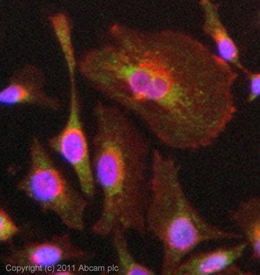 Immunocytochemistry/ Immunofluorescence - Anti-CX3CL1 antibody (ab85034)