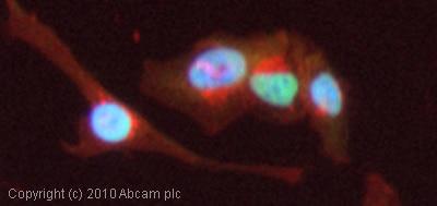 Immunocytochemistry/ Immunofluorescence - Anti-Topoisomerase I antibody (ab85038)