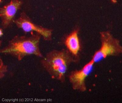 Immunocytochemistry/ Immunofluorescence - Anti-FGF19 antibody (ab85042)