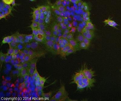Immunocytochemistry/ Immunofluorescence - Anti-OLFM4 antibody (ab85046)