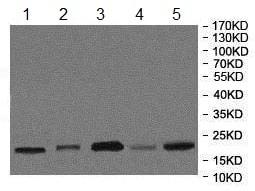 Western blot - Anti-ATRAP antibody (ab85175)