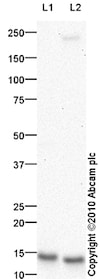 Western blot - Anti-HE4 antibody (ab85179)