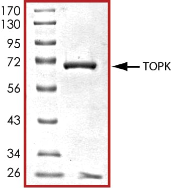 SDS-PAGE - Recombinant human PBK/SPK protein (ab85275)