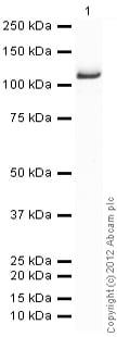 Western blot - Recombinant human NAK/TBK1 protein (ab85276)