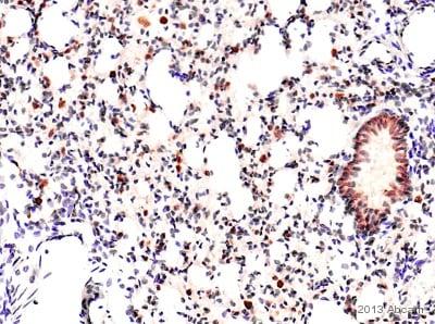 Immunohistochemistry (Formalin/PFA-fixed paraffin-embedded sections) - Anti-Heme Oxygenase 1 antibody (ab85309)