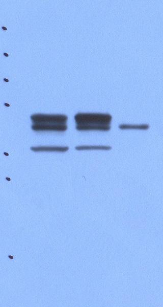 Western blot - Anti-PON2 antibody [AF3E6] (ab85340)
