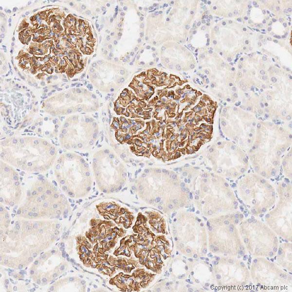 Immunohistochemistry (Formalin/PFA-fixed paraffin-embedded sections) - Anti-Nephrin antibody (ab85379)