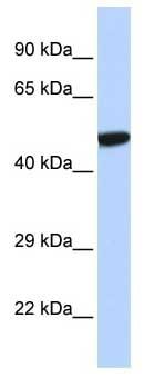 Western blot - Anti-PXR antibody (ab85451)