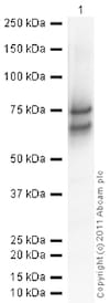 Western blot - Recombinant Human Chromogranin A protein (ab85486)