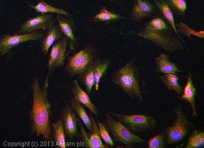 Immunocytochemistry/ Immunofluorescence - Anti-Kir2.1/KCNJ2 antibody [N112B/14] (ab85492)