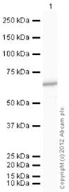 Western blot - Anti-PKM antibody (ab85542)