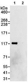 Immunoprecipitation - Anti-HERC4 antibody (ab85732)
