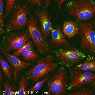 Immunocytochemistry/ Immunofluorescence - Anti-Thrombospondin 1 antibody (ab85762)