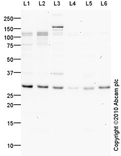 Western blot - Anti-Interferon beta antibody (ab85803)